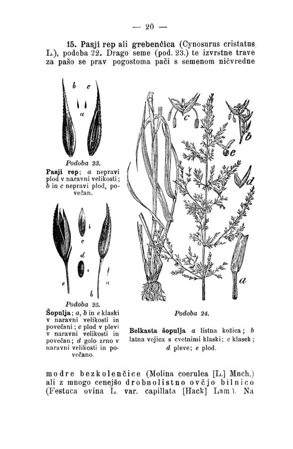 pimpinella saxifraga samen schweiz